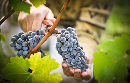 Ручной сбор винограда