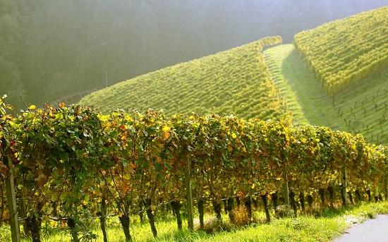 Виноградник на склоне холма