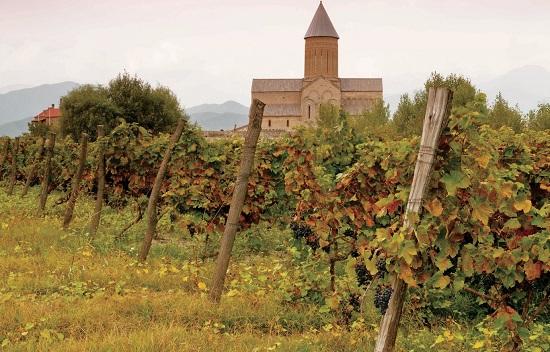 Виноград сорта Саперави